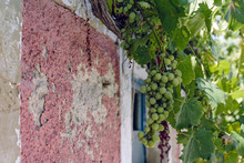 Unripe Grapes Hanging Over An Old Doorway