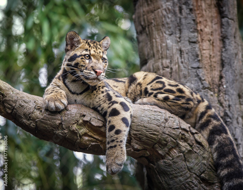 Poster Leopard clouded leopard stare