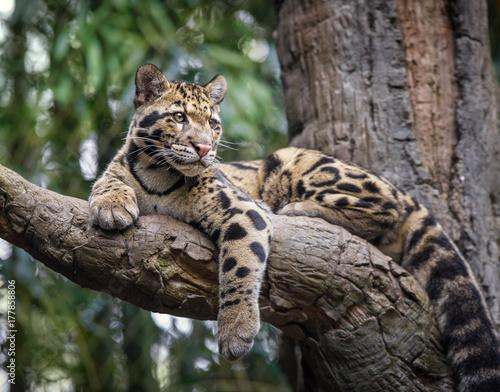 Tuinposter Luipaard clouded leopard stare