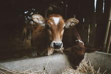 Baby Cattle/cow Feeding Inside A Farm.