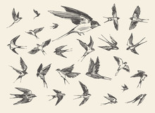 Flock Birds Flying Swallows Dr...