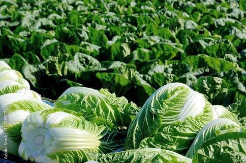 Foto auf AluDibond Grun 白菜畑 収穫した白菜