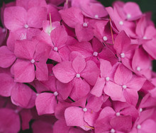 Extreme Close Up Of Pink Hydrangea Cluster Flower