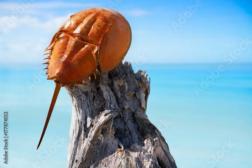 Photo  Cacerola de mar Limulus polyphemus Mexico
