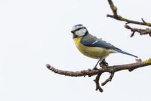 Blue Tit (Parus Caeruleus) Sit...