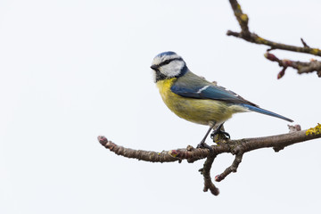 blue tit (Parus caeruleus) sitting on branch