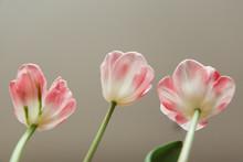 Closeup Of Underside Of Three Tulip Flowers
