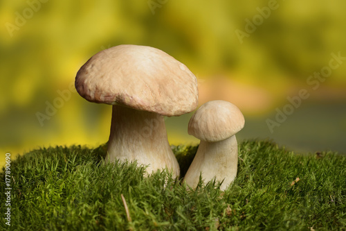 Porcini on natural background