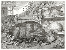 Old Illustration Of Bear And B...