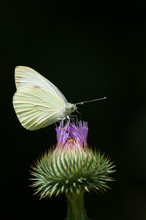 White Butterfly Visiting A Blo...