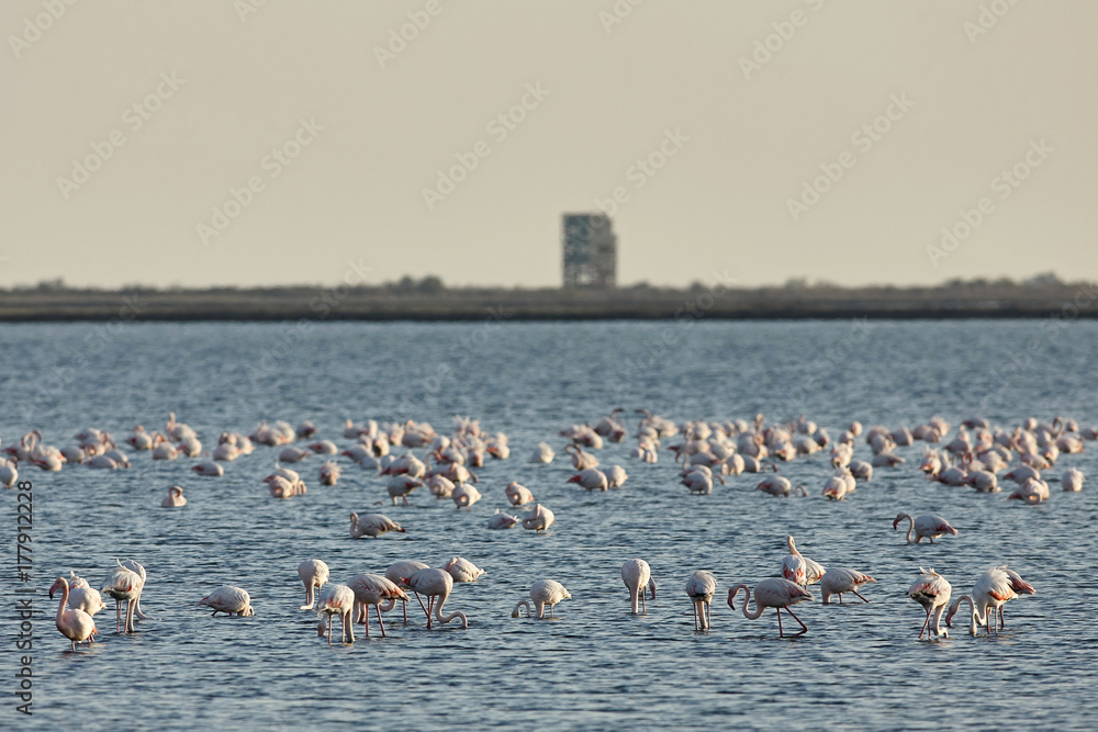 View of pink flamingos birds in Evros river, Greece.
