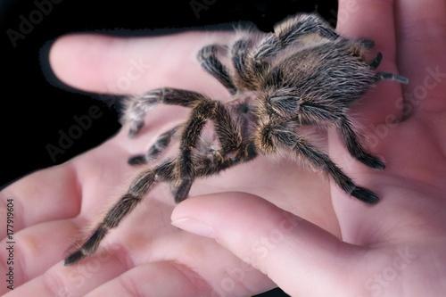Plakat Tarantula (Grammostola porteri) siedzi na rękach kobiety