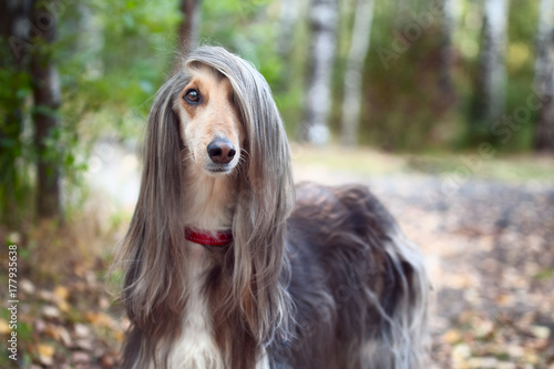 Photo Smart dog  Afghan hound with ideal data stands in the autumn forest and looks into the camera