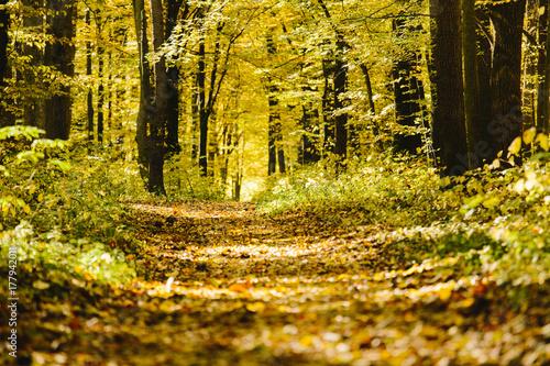 Zdjęcie XXL Jesienne drzewa w lesie ze złotym ulistnieniem i chodnik prowadzący do lasu