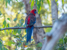 Colorful Crimson Rosella