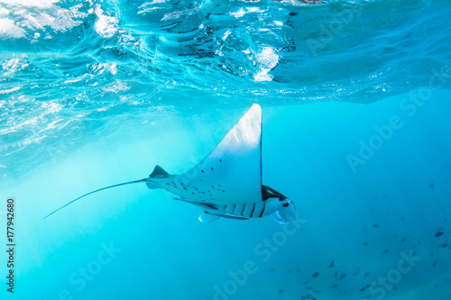 Underwater view of hovering Giant oceanic manta ray ( Manta Birostris ). Watching undersea world during adventure snorkeling tour to Manta Beach in tropical Nusa Penida island, Indonesia.