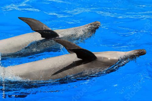 Plakat Dwa delfiny w basenie pływackim na plecach