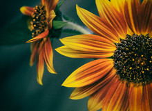 Close Up Of Pretty Sunflower In Orange And Yellow