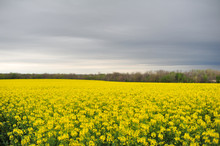 Canola Fields In Bloom With Overcast Sky