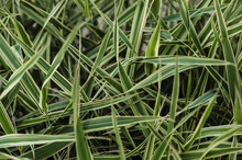 The Leaves Of The Picta In The Garden. Grass.