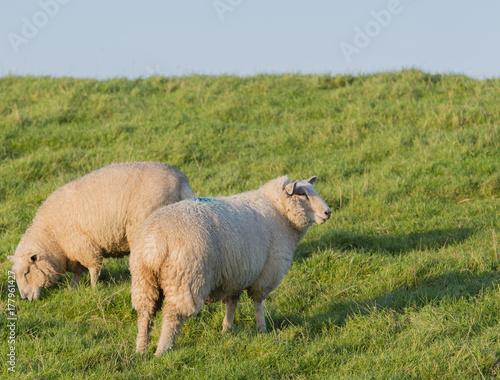 Poster Sheep Schafe auf einem Deich an der Elbe