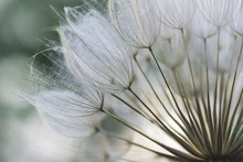Closeup Of Dandelion Fluffs An...