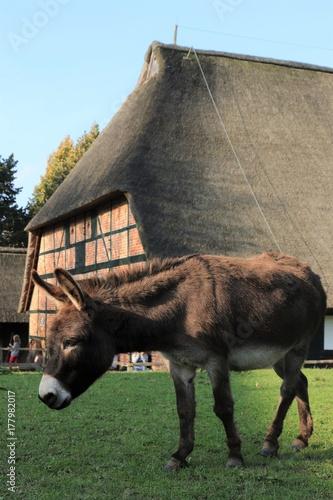 niedlicher Esel, Bauernhof, alte Tierrassen