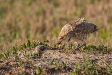 Burrowing Owl Feeding Chick At...