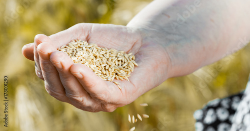 The Panorama Of Harvest Time And Golden Hour Wheat Grains
