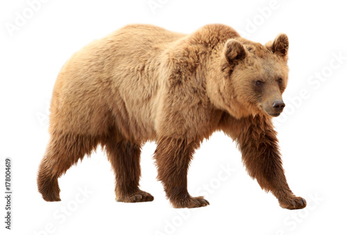 Brown bear on white background Fototapeta