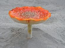Mushroom Amanita.  Beautiful I...