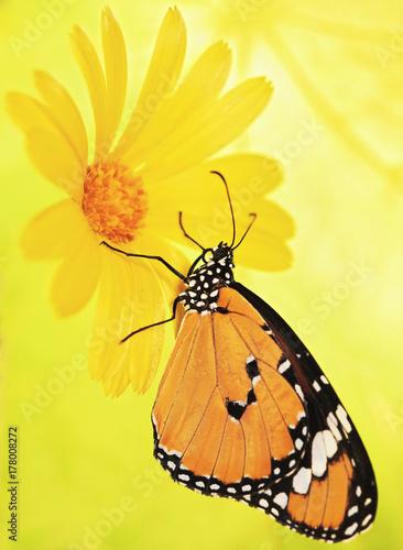 Fotografie, Obraz  Plain tiger butterfly, Danaus chrysippus, on a marigold flower