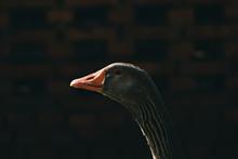 Close Up Of Goose Head