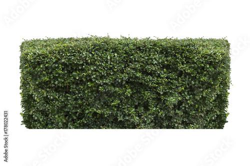 Fotografia green bush isolated on white background.