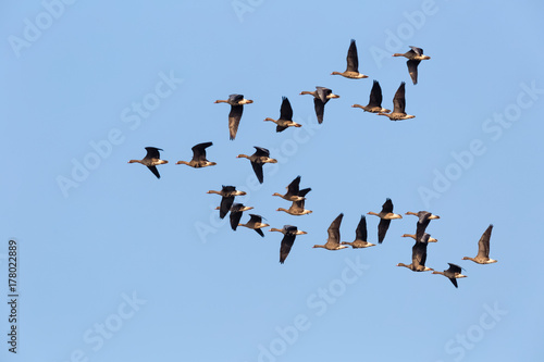 wild geese flying