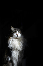Maine Coon Cat Sits In The Sunny Spot