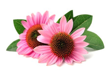Echinacea Flowers.
