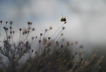 A Bee Flies Over Delicate Dried Weeds Against A Dusky Sky