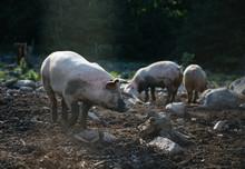 Three Pigs In A Muddy Farm Enclosure