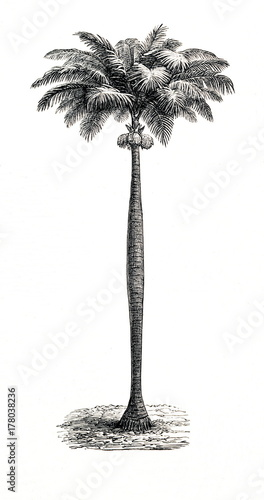 Photo Cuban royal palm (Roystonea regia) (from Meyers Lexikon, 1896, 13/442/443)