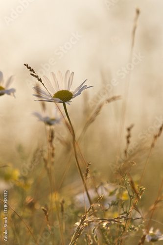 Camomile growing in a meadow on a summer evening - 178048432