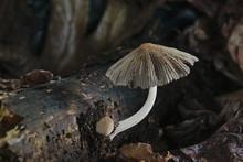 Mushroom Growing On Rotting Tr...