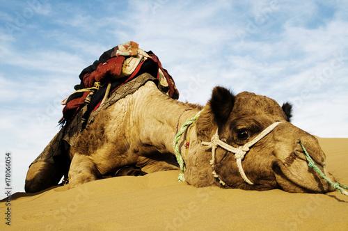 Fotobehang Zandwoestijn Johnnie the cutest camel. Dromedary camel in the Thar Desert, Rajasthan, India.