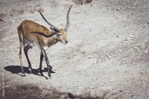 Deurstickers Antilope Antilope cobe lechwe