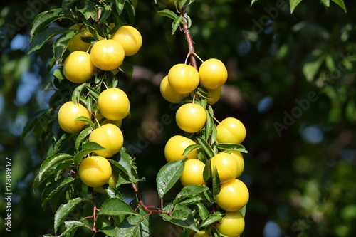 Beautiful shiny fresh yellow mirabelle plums fruit on tree branch