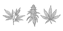 Marijuana Mature Plant With Le...
