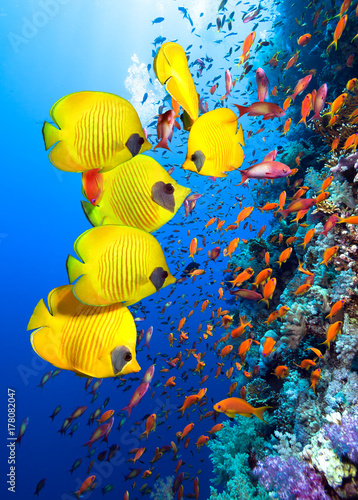 Foto op Canvas Onder water Underwater image of coral reef and School of Masked Butterfly Fish