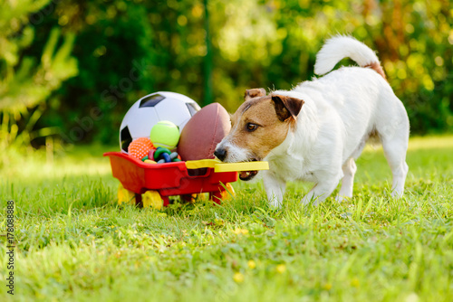 Fotografie, Obraz  Sportive dog fetches collection of balls and toys in cart