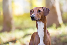 Red Azawakh Dog Portrait Outdoors