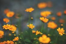 Orange Cosmos Flowers